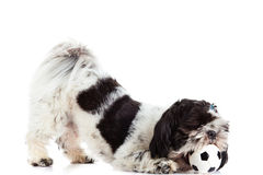 Dog with ball isolated on white background football Stock Photos