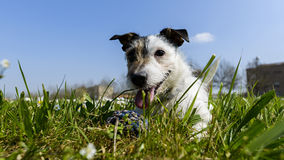 Dog with ball. Jack russell terrier dog with ball in the middle of a meadow of daisies Royalty Free Stock Images