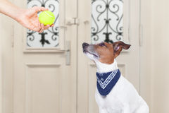 Dog with ball Royalty Free Stock Image