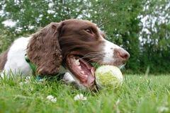 Dog with the ball Stock Photos