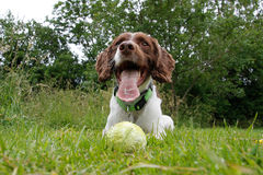 Dog with the ball Royalty Free Stock Photography