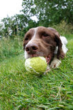 Dog with the ball Stock Photo