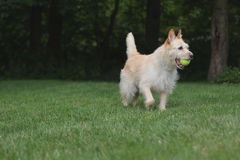 Dog with ball in mouth. Dog catches ball in mouth in the backyard Royalty Free Stock Images