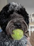 Dog with ball in mouth. Cockerpoo with tennis ball in mouth royalty free stock photos