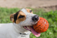 Dog with ball in mouth stock photos