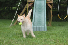 Dog with ball in playgruond. Dog at the playground with a ball in its mouth Stock Photography