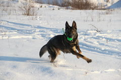 Dog with a ball. Playing on a winter walk Stock Image