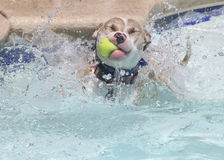 Dog with a ball in the pool Royalty Free Stock Images