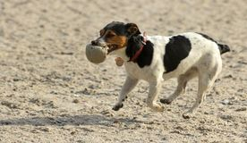 Dog with a ball . stock image