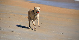 Dog with ball running on beach Royalty Free Stock Image