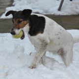 Dog with ball in the snow. Cute dog playing with ball in the snow in the winter season. Smooth Fox Terrier Royalty Free Stock Image