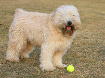 Dog and ball Royalty Free Stock Photos