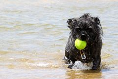Dog Ball Water. Black small dog playing with a yellow tennis ball stock photography