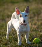 Dog and ball. White cute dog with tennis ball, standing on grass Royalty Free Stock Photography