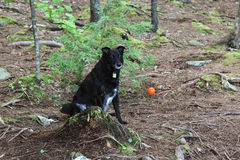 Dog with ball in woods. Black dog sits in woods with ball, waiting stock images