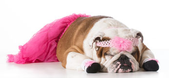Dog ballerina Stock Images