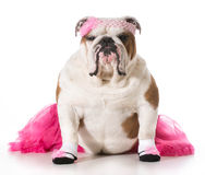Dog ballerina Stock Image