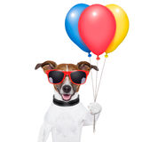 Dog balloons and cotton candy. Dog  with bunch  of balloons and cotton candy and shades Royalty Free Stock Photo