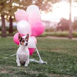 Dog and balloons stock photography