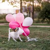Dog and balloons stock image
