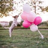 Dog and balloons royalty free stock photo
