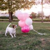 Dog and balloons royalty free stock photos
