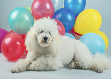 Dog with balloons Royalty Free Stock Image