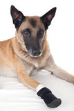 Dog with a bandage protection on the right paw Stock Images