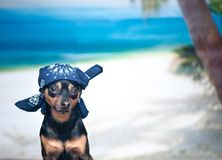 Dog in a bandana on the beach, the concept of a holiday, I want. To go on vacation. That terrier at sea. Space for text Royalty Free Stock Images