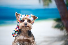 Dog in a bandana on the beach, the concept of a holiday, I want. To go on vacation. Yorkshire Terrier at sea. Space for text Stock Photos