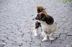 Dog with bandy legs on paving square Stock Photos