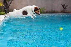 Dog banhoppningen för att hämta en boll i simbassäng Royaltyfri Foto