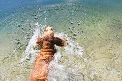 Dog banhoppningen in i sjön fotografering för bildbyråer