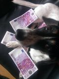 Dog with banknotes. Dog holding Euro banknotes looking at the camera Stock Image
