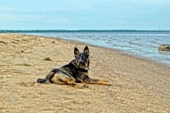 Dog is on the banks of the river Royalty Free Stock Photography