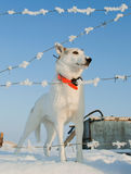 Dog and Barbed wire on a background of snow-covered landscape Royalty Free Stock Photo