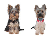 Dog, before and after the barber royalty free stock image