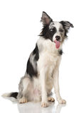 Dog baring his tongue Royalty Free Stock Image