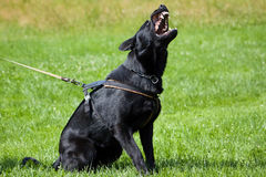 Dog is bark. Black dog german shepherd id bark with open mouth with tooth Royalty Free Stock Image