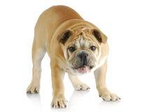 Dog barking Royalty Free Stock Photo
