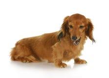 Dog barking Royalty Free Stock Images