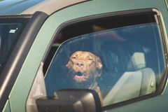 Dog barking in driver`s seat. Barking dog in driver`s seat of green vehicle with windows open partly Royalty Free Stock Photography