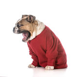 Dog barking Stock Image
