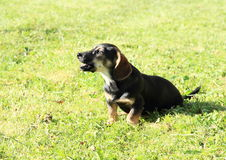 Dog barking on grass. Brown dog sitting and barking on green meadow royalty free stock images