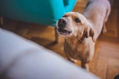 Dog barking at home. Small yellow dog barking at home royalty free stock photos