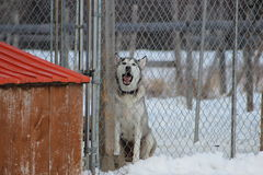 Dog Barking. This is a husky barking behind a fence Royalty Free Stock Photos