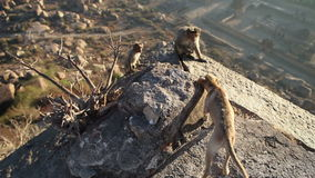 Dog barking at the monkeys sitting on top of a mountain stock video footage