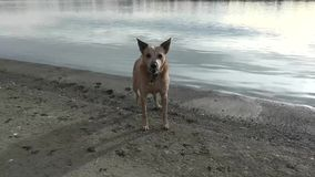 Dog barking Near Beach Edge stock footage