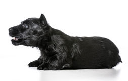 Dog barking. Scottish terrier puppy with mouth open barking isolated on white background royalty free stock photo