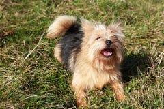 Dog Barking. A small bravery dog barking on grass under sunlight stock photo
